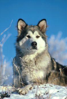 Alaskan Malamute Dogs And Puppies