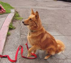 Dog of the Day: Lizzy the Shetland Sheepdog/Golden Retriever Mix Unique Dog Breeds, Best Dog Breeds, Big Dogs, I Love Dogs, Golden Retriever Mix, Golden Retrievers, Mutt Dog, Dog Crossbreeds, Animal Room