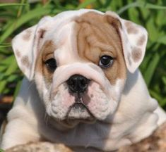 The major breeds of bulldogs are English bulldog, American bulldog, and French bulldog. The bulldog has a broad shoulder which matches with the head. Bulldog Breeds, English Bulldog Puppies, Cute Puppies, Cute Dogs, Dogs And Puppies, Doggies, Terrier Dogs, Pitbull Terrier, Bulldog Pics