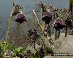 Pulsatilla pratensis var. nigricans ist mit ihren schwarzvioletten und stets nickenden Blüten eine eher dezente Zier für naturnahe Gärten. Foto: Robert Höck. http://garten2null.de/2012/03/27/kuechenschellen-eine-blumenschoenheit-an-die-grosse-glocke-gehaengt/