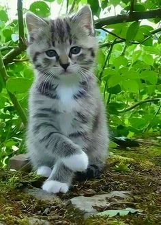 Adorable kitten inside the rose bushes looking cute.