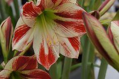 This beautiful Amaryllis produces several large flowers.  https://royalcolors.com/amaryllis/ambiance/?utm_content=bufferca4a3&utm_medium=social&utm_source=pinterest.com&utm_campaign=buffer