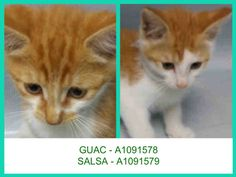 **MUST BE PULLED BY A NEW HOPE RESCUE** GUAC – A1091578 AND SALSA – A1091579 GUAC – A1091578 MALE, ORANGE, DOMESTIC SH MIX,1 mos STRAY – EVALUATE, NO HOLD Reason STRAY Intake condition EXAM REQ Intake Date 09/28/2016, From NY 11414, DueOut Date10/01/2016, I came in with Group/Litter #K16-075933. Medical Behavior Evaluation BLUE