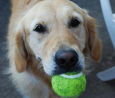Aprende como enseñar a un perro a traer la pelota paso a paso (nivel fácil). Este es uno de los juegos más completos y sobretodo divertidos, y nos ayuda a refo