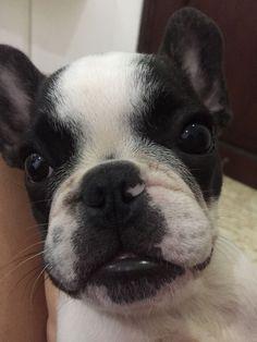 Bulldog frances otto