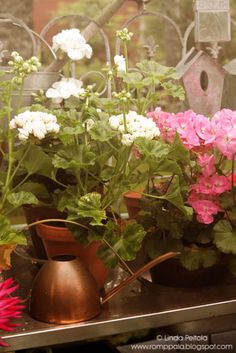 Pelargoniums, geraniums Romppala - Lindan pihalla