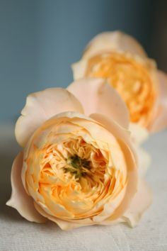 Golden Vuvuzela rose.  Pale yellow/peach garden style rose.