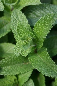 Gewürz und Heilpflanze Minze pflegen kräutergarten minzblätter