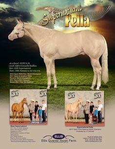 Experience the Supernatural, Supernatural Fella, 2008 16H AQHA Cremello Stallion at Ellis Quarter Horse Farm.