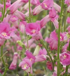 Antirrhinum 'Pretty in Pink'