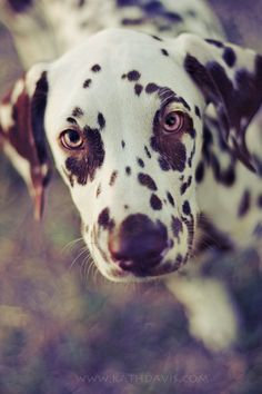 dog, dalmatian, and animals image Cute Puppies, Cute Dogs, Dogs And Puppies, Doggies, Especie Animal, Mundo Animal, Beautiful Dogs, Animals Beautiful, Gorgeous Eyes