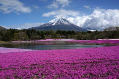 From California to Japan, these fields filled with vibrant blooms go as far as the eye can see Kyoto, Valley Of Flowers, Best Funny Images, Hd Nature Wallpapers, Plant Wallpaper, Hd Wallpaper, Spring Nature, Mount Fuji, Natural Scenery