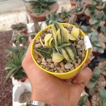 Gasteria verrucosa variegata