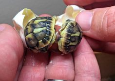 Keeper at a tortoise breeding/care center noticed a baby having trouble hatching, found twin toirtoises inside the egg