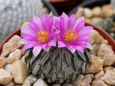 Pelecyphora aselliformis  精巧丸