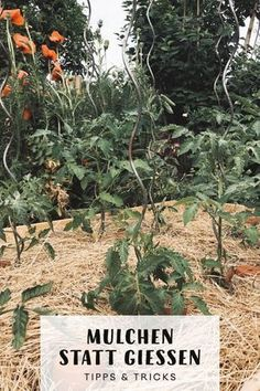 Richtig mulchen statt gießen. Meine Gemüsebeete und Staudenbeete habe ich dieses Jahr dick gemulcht und muss daher trotz Hitze nur wenig gießen. Wie das geht, welche geeignete Mulchmaterialien es gibt und auf was Ihr achten solltet, wenn Ihr im Garten z.B. mit Rasenschnitt oder Rindenmulch mulchen möchtet, erfahrt Ihr in diesem Beitrag mit Tipps und Tricks. #garten #nutzgarten #mulch #mulchen