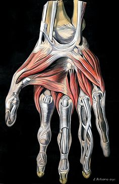 Muscles of the Hand and Wrist By Elisa Schorn, circa 1900.