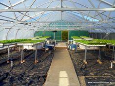 """Commercial Trial Integrated Aquaculture """"Aquaponics"""" - Aquaponic and Aquaculture Articles"""