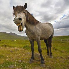 Das Islandpferd oder -pony wird auf seiner nordischen Heimatinsel absolut rasserein gehalten. Längst jedoch sind die robusten und genügsamen Reittiere auf der ganzen Welt beliebt, auch wenn sie mit anderem Blut eingekreuzt wurden. Der Isländer verfügt außer Schritt, Trab und Galopp noch über eine vierte Gangart: Tölt oder Pass – Diese Karte hier online kaufen: http://bkurl.de/pkshop-212090 Art.-Nr.: 212090 Vielseitig begabt | Foto: © Neil John Smith/getty images | Text: Rolf Bökemeier