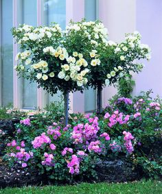 Flower Carpet roses (White) as topiary trees underplanted with pink Flower Carpet roses.