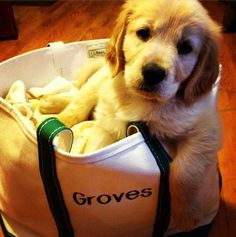 Groves - golden retriever puppy - loves his #LLBean Boat and Tote via @jamiecarroll88