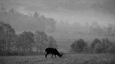 Buck in Cades Cove Black and White by Dan Sproul