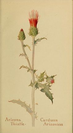 Arizona Thistle. Plate from 'Field Book of Western Wild Flowers' (1915) by Margaret Armstrong. http://archive.org/stream/fieldbook00arms#page/n5/mode/2up