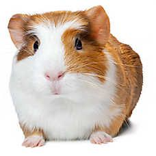 Small Pets For Sale Hamsters Gerbils Mice More Petsmart In 2020 Small Pets Pets For Sale Pets
