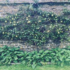 An espalier pear @mapperton_estate walled garden @mccormickcharlie #pears #walledgarden