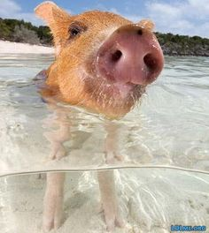 The world's most unusual beaches: Pig Beach, Pig Island, Bahamas Feral Pig, Pig Island, Pig Beach, Swimming Pigs, Happy Pig, Bahamas Vacation, Little Pigs, Animal Kingdom, Cute Animals
