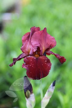 Buy bearded iris Iris 'Sultan's Palace': Delivery by Waitrose Garden in association with Crocus