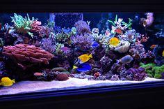 Click this image to show the full-size version. Coral Reef Aquarium, Saltwater Aquarium Fish, Saltwater Tank, Marine Aquarium, Freshwater Aquarium, Marine Fish Tanks, Marine Tank, Reef Aquascaping, Cool Fish Tanks