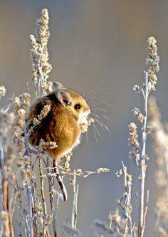 deer-mouse-earl-nelson