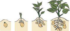 PLANTIO E HORTA EM CASA: Como Plantar Batata em Casa