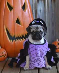 Our Pug Boo the Spider #pugcostume #pughalloween #pugspider