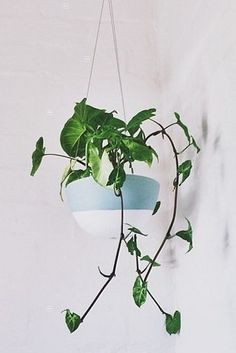 Herat-leaf philodendron 10 Hard to Kill Hanging Plants That'll Make Your Home Look Amazing Air Purifier