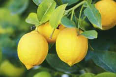 The botanical name for the lemon is Citrus limon. The trees are easy to grow and care for. Even the crushed leaves of the tree produce a sweet citrus scent. Lemon Tree Plants, Lemon Plant, Citrus Trees, Fruit Trees, Trees To Plant, Lemon Tree Potted, Lime Trees, Citrus Fruits, Potted Trees