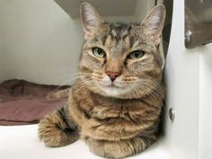 SAVI - A0998799 - - Manhattan  *** TO BE DESTROYED 08/10/17 *** ANOTHER ROUND FOR SWEET SAVI – WHOSE ADOPTION HOLD FELL THROUGH!!  SAVI had a hold last night by a member of the public but it didn't work out.  She is now being given a second chance.  WATCH HER VIDEO!!  A volunteer writes: A princess with beautiful, royal Tabby markings. A little shy at first, she soon warmed up to me. After sniffing me, she gently put her paw on top of my hand, which she promptly