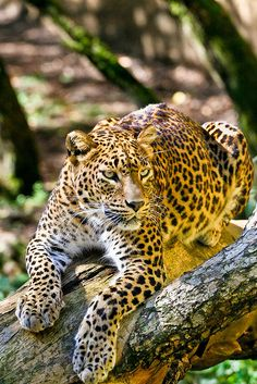 Leopards have such pretty light green eyes. It helps to identify whether a leopard, jaguar, or panther. Beautiful Cats, Animals Beautiful, Big Cats, Cats And Kittens, Jaguar, Animals And Pets, Cute Animals, Wild Animals, Gato Grande