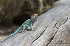 """""""say cheese!"""" – Eastern Collared Lizard ©R.C. Clark: Dancing Snake Nature Photography All rights reserved #arizona, #nature, #photography, #dancingsnakenaturephotography, #reptiles, #lizards, #EasterCollared, #male"""