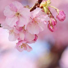 【smileoflily】さんのInstagramをピンしています。 《おはようございます ・ ・ 桜の花びら散るたびに 届かぬ想いがまた一つ 涙と笑顔に消されてく そしてまた大人になった ・ 追いかけるだけの悲しみは 強く清らかな悲しみは いつまでも変わることのない 君の中に  僕の中に  咲くlove ・ 桜  コブクロ ・ ・ 可愛い桜の花、セツナイ曲が多い いきものががりのSAKURAも大好きだけど、胸の奥がキュッとする ・ ・ まだまだ火曜日、笑顔でいきましょう(ˊᗜˋ*)و ・ Have  a  nice  day  ・ ・ 2017.2.7 * * * #神奈川 #松田山ハーブガーデン  #河津桜 #cherryblossoms#flower  #ザ花部 #はなまっぷ#wp_flower  #wp_まっぷ花まつり #whim_life  #tv_flowers #flowerstalking  #team_jp_ #Airy_pics  #myheartinshots #backyard_dreams  #splendid_flowers #Flowers2sky…