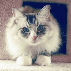 Beautiful Long Haired Cat Pretty Kitty, Pretty Cats, Beautiful Cats, Baby Live, Long Haired Cats, Animal Faces, Fat Cats, White Cats, I Love Cats