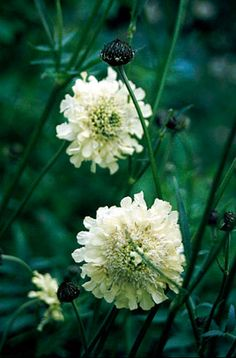 Pale yellow scabious flowers - fits into front of border, almost indespensible for its colour, habit and length of time of flowers. Herbaceous Border, Herbaceous Perennials, Garden Seeds, Garden Plants, Prairie Garden, Orchid Show, Summer Plants, Plant Identification, Variegated Plants