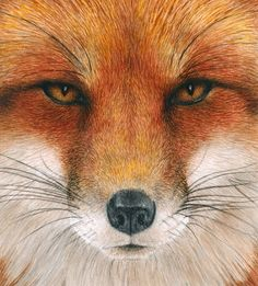 Red Fox Gaze Art Print by Pat Erickson. All prints are professionally printed, packaged, and shipped within 3 - 4 business days. Choose from multiple sizes and hundreds of frame and mat options. Animals Beautiful, Cute Animals, Wild Animals, Baby Animals, Wolf Hybrid, Fox Pictures, Fox Painting, Watercolor Fox, Fox Illustration