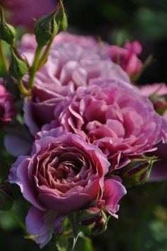 'Aoi' | Floribunda Rose. Production in 2008 Japan Rose Farm Keiji
