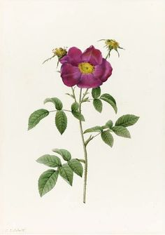 Pierre-Joseph Redoute  Rosa Gallica Stapeliae Flora  1817-24