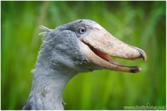 2015-3 Shoebill by W0LLE on DeviantArt
