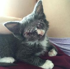 Rescue Kitten Who Had Both Eyes Removed Is Learning What Love Means!