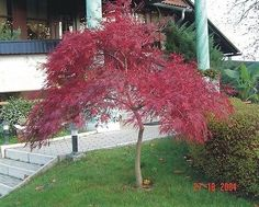 100 Seeds Bonsai Portal Cool Japanese Katsura Cercidiphyllum Japonicum Katsura Tree
