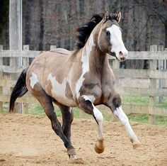 grulla paint. This is like my dream horse....